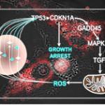 Descifran un proceso clave en el envejecimiento de las células